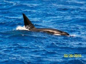 Royal Polaris spots some Orcas